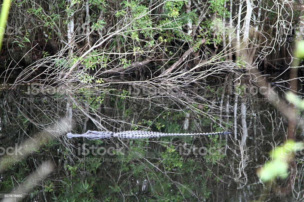 Alligator gliding along a river wilderness stock photo