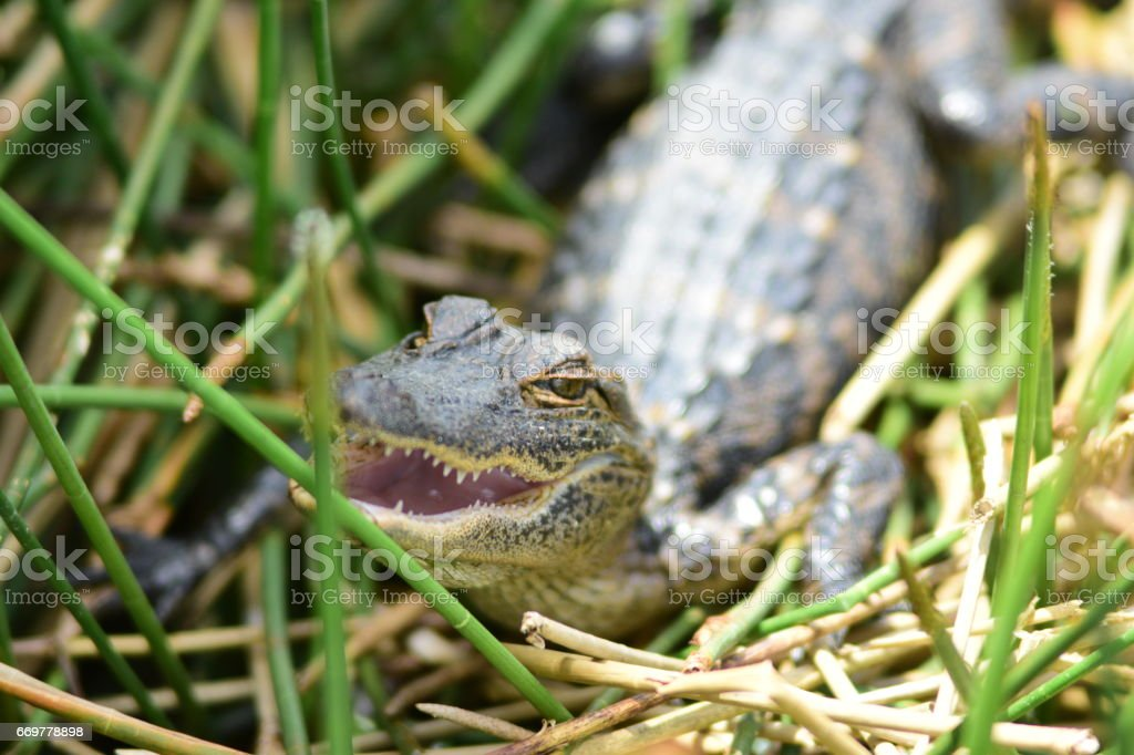 Alligator hiding under aquatic vegetation stock photo