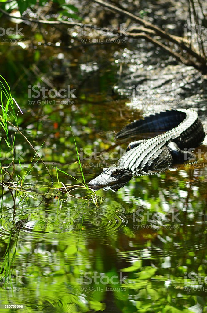Alligator in calm creek with whiligig bugs stock photo