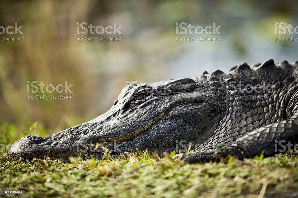 Alligator in Florida Everglades National Park stock photo