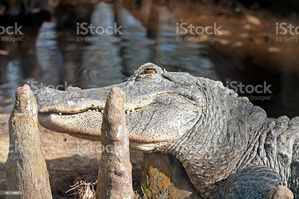 Alligator in Florida stock photo
