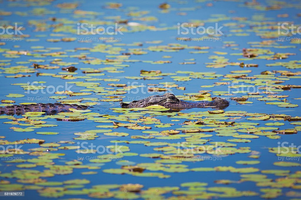 Alligator in Lili Pad Swamp Wetland, Everglades National Park, Florida stock photo