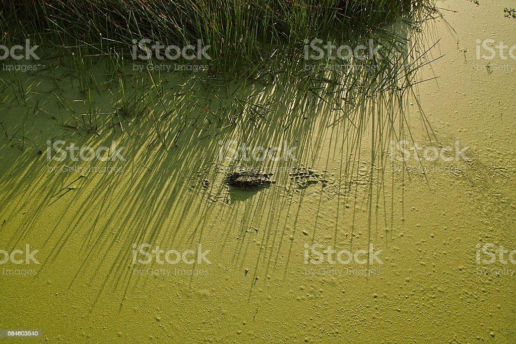 alligator in sawgrass stock photo