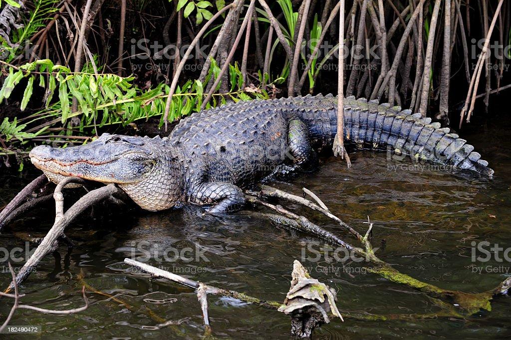 Alligator in Swamp royalty-free stock photo
