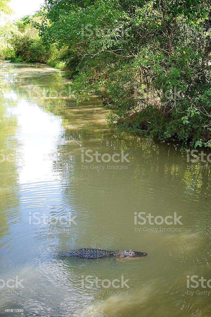 Alligator in the Bayou stock photo