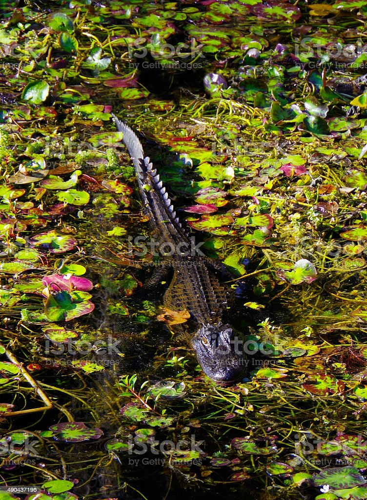 Alligator in the Big Cypress Swamp stock photo