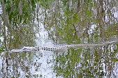 Alligator in the bog