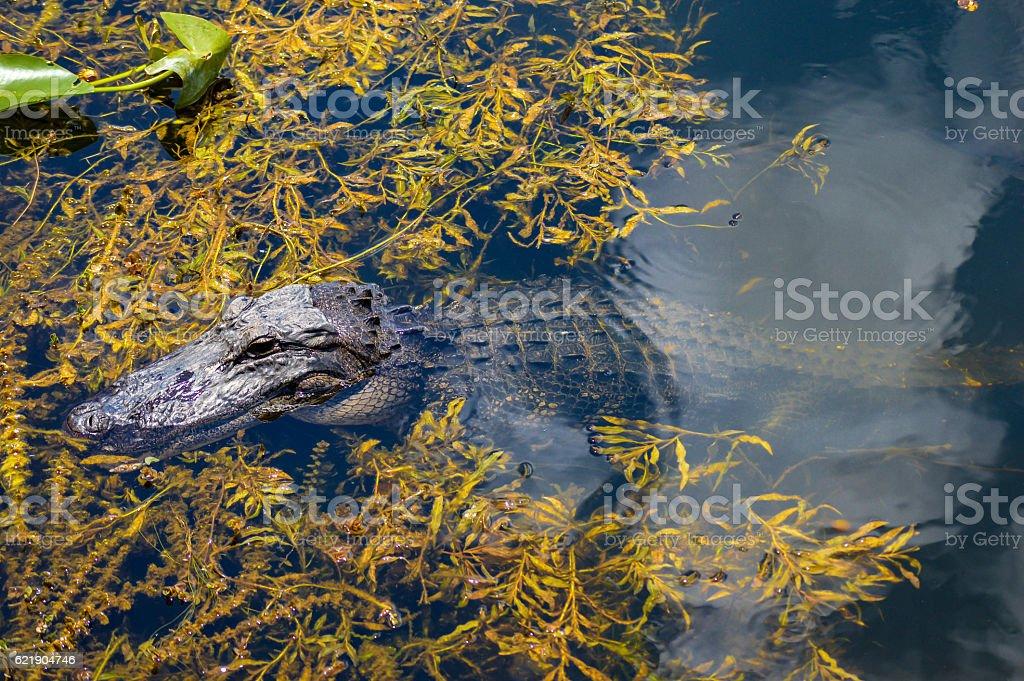 Alligator in the Everglades stock photo
