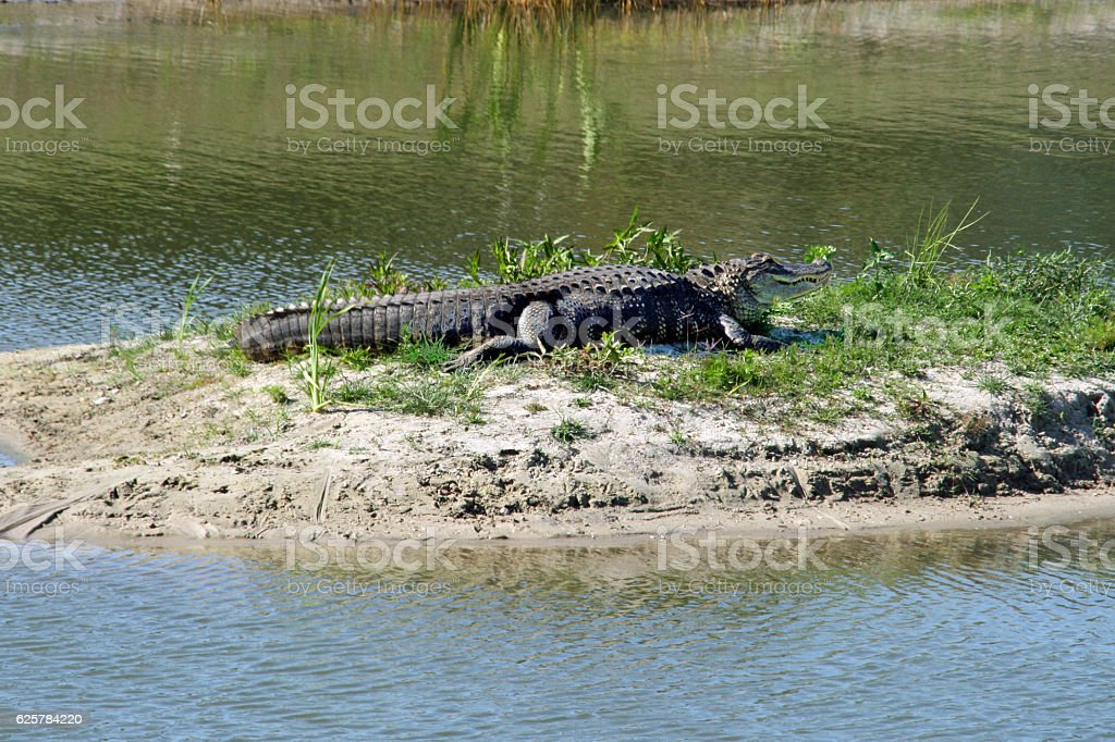 Alligator in the Sun stock photo