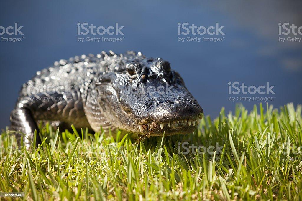 Alligator in the swamp stock photo