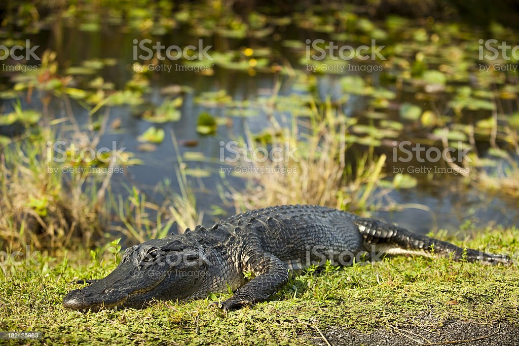 Alligator in the swamp stock photo