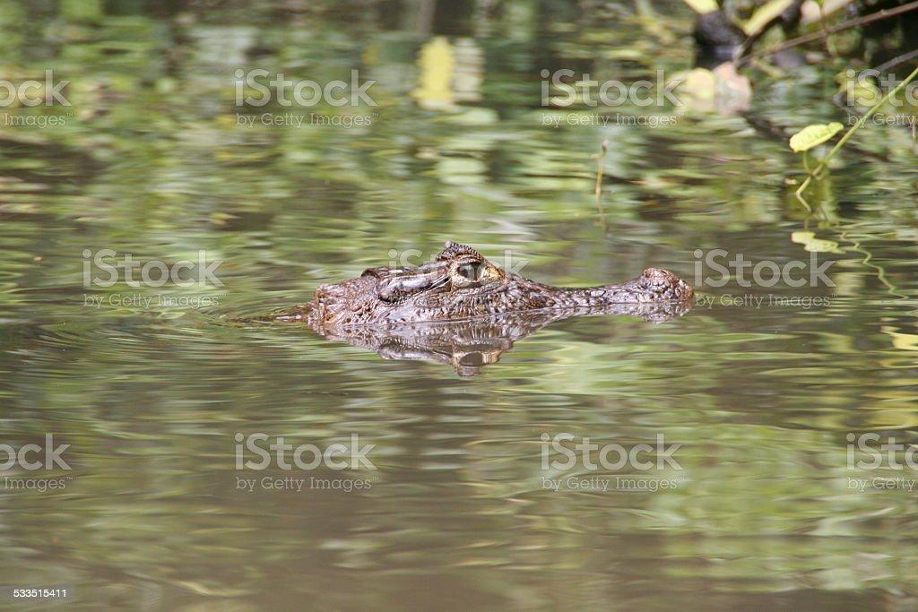 Alligator in Tortuguero National Park, Costa Rica stock photo
