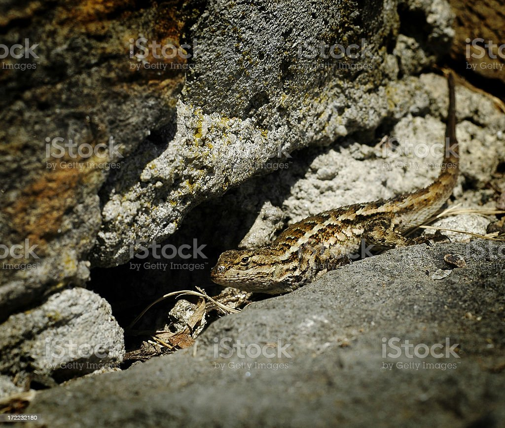 Alligator Lizard royalty-free stock photo