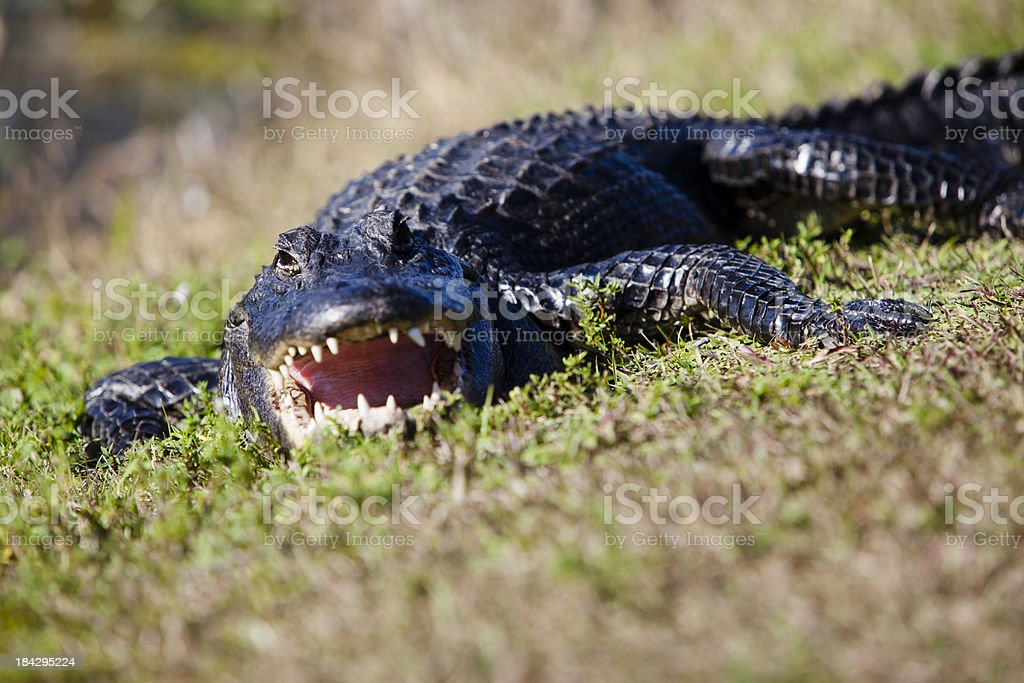 Alligator looking at camera with mouth open stock photo