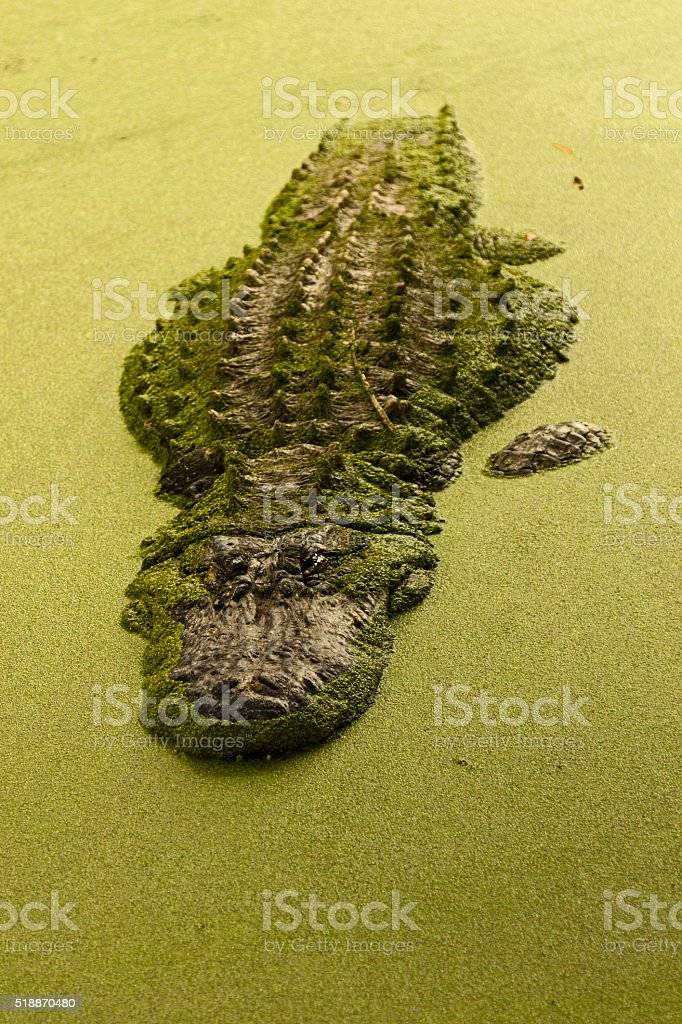 Alligator lurking in a murky Florida swamp stock photo