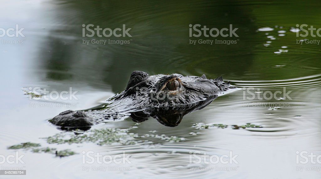 Alligator Lurking in the Shadows stock photo