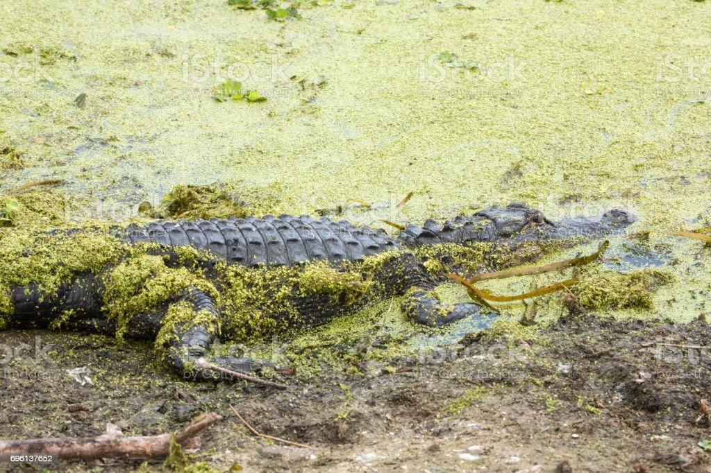 Alligator lying in pond weeds at Orlando Wetlands Park. stock photo