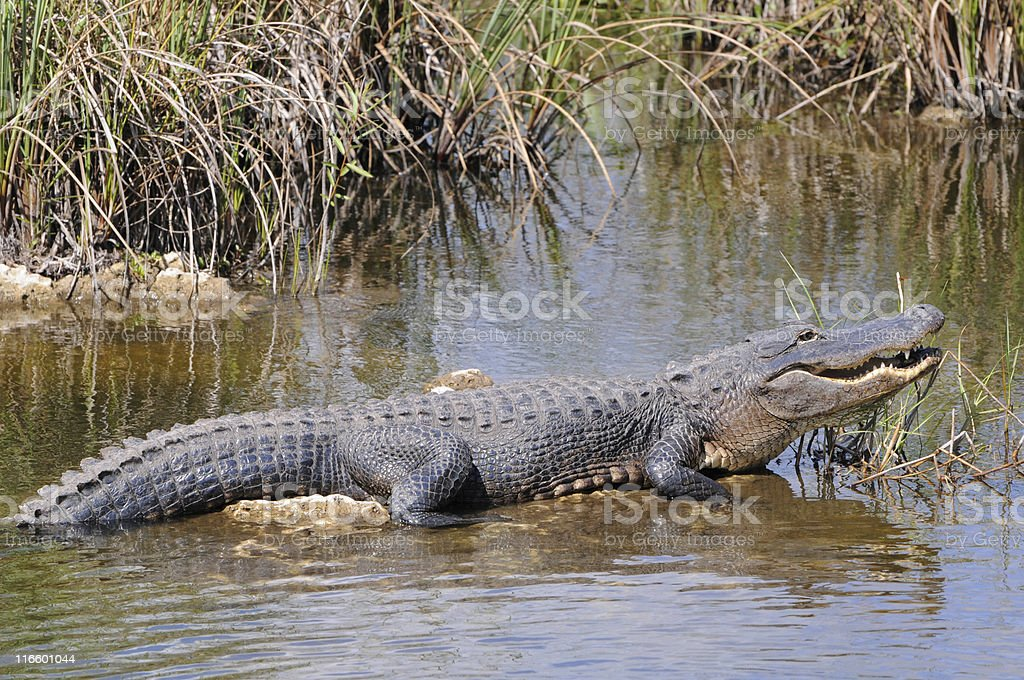 Alligator mississippiensis, Everglades National Park, Florida royalty-free stock photo