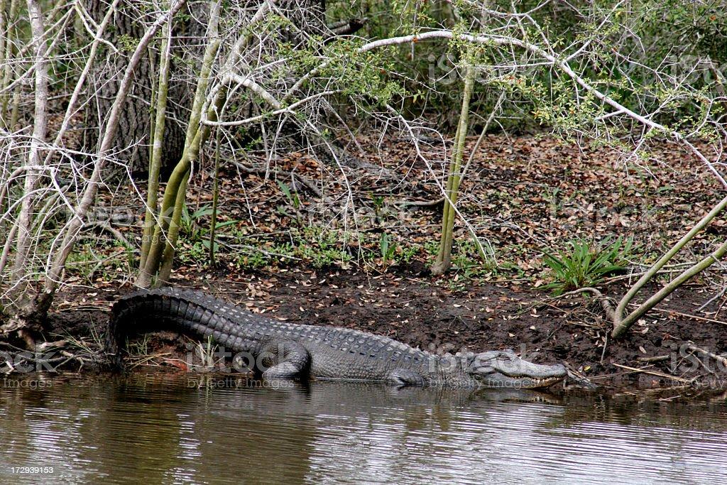 Alligator Mississippiensis stock photo
