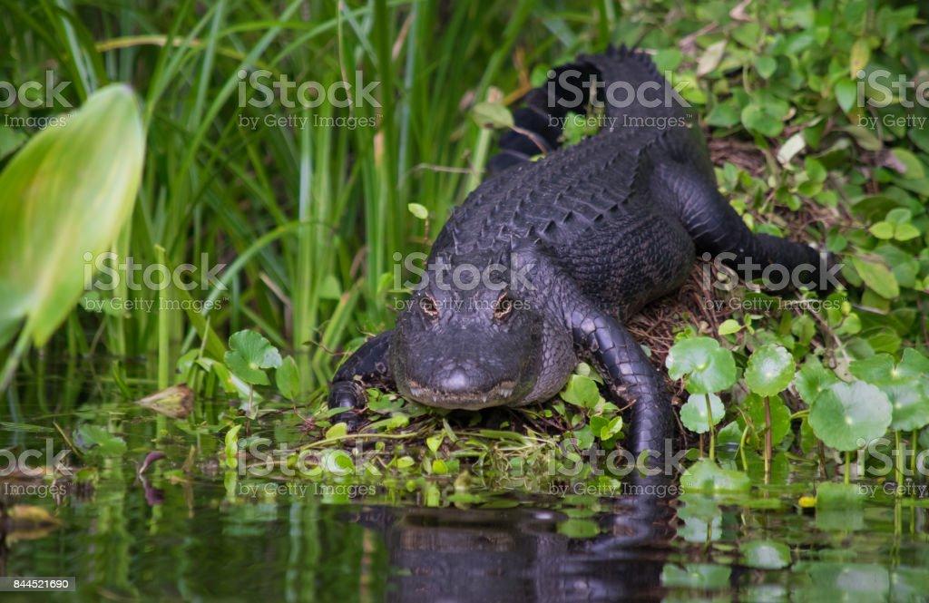 Alligator on a Riverbank stock photo