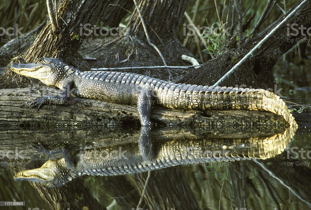 Alligator On Log With Absolutely Perfect Reflection In Water stock photo