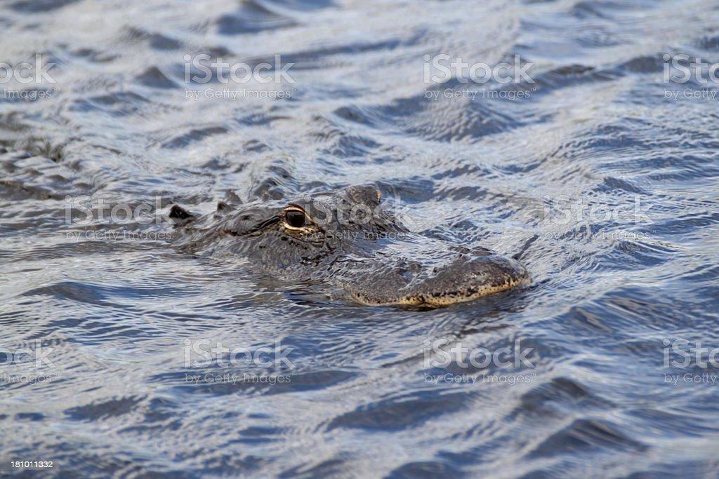 - Alligator Lizenzfreies stock-foto