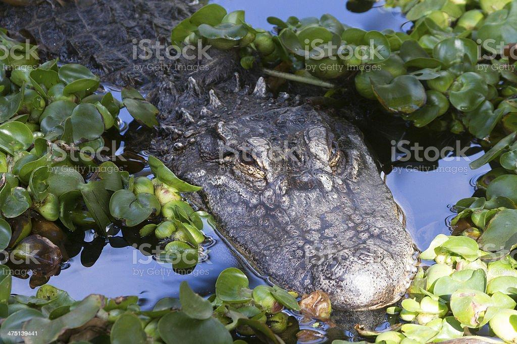 Alligator (Alligator Mississippiensis) stock photo
