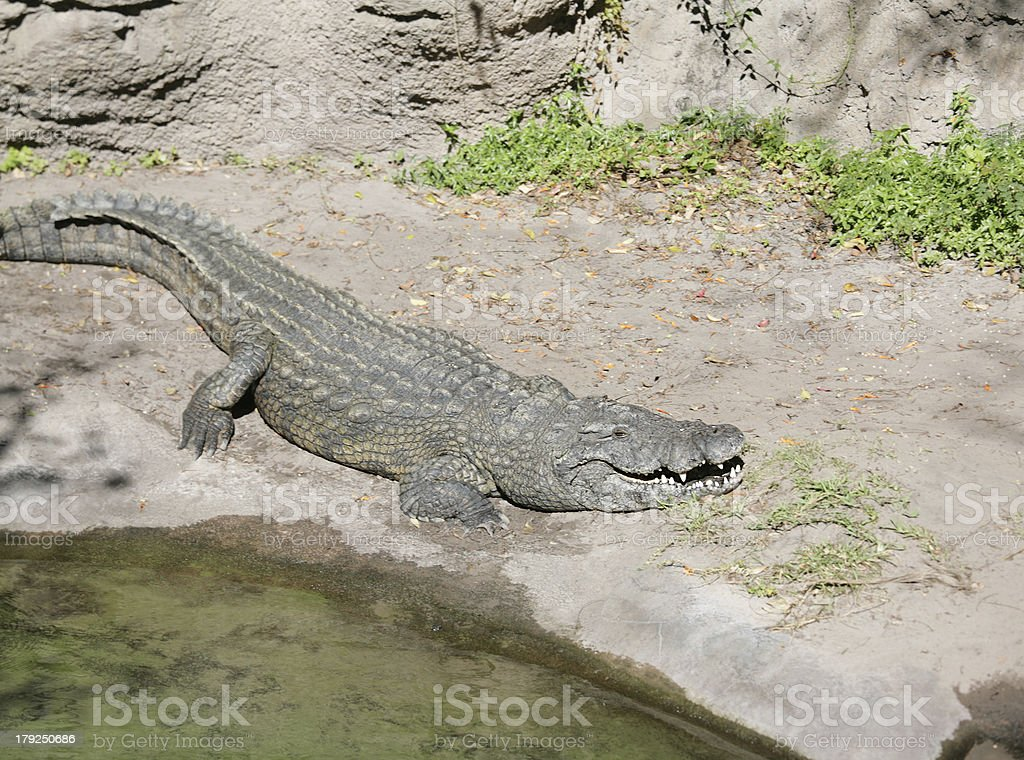 Alligator ready to eat royalty-free stock photo