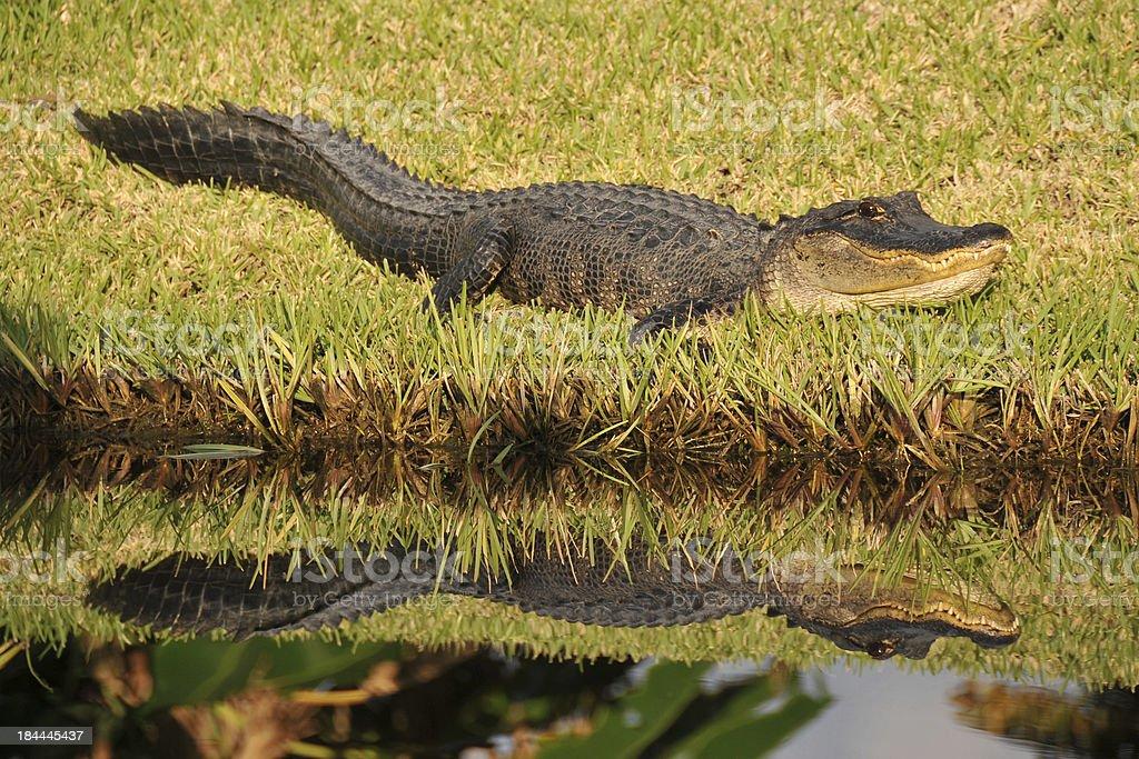 Alligator reflection royalty-free stock photo