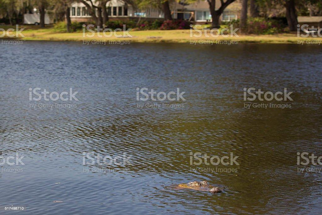 Alligator residential neighborhood stock photo
