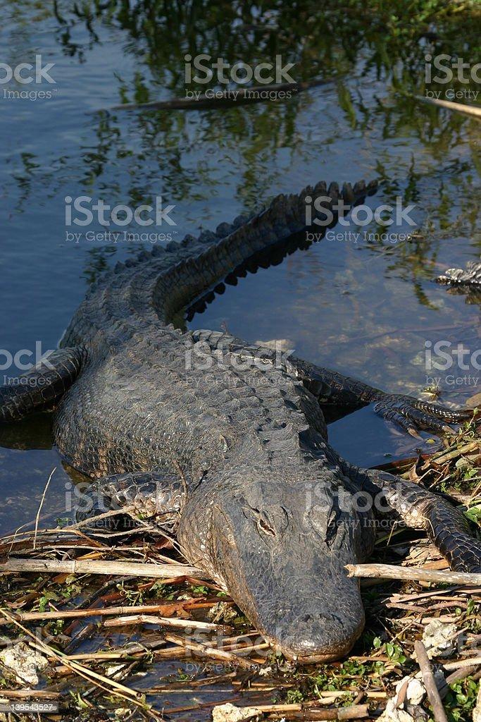 Alligator resting on bank royalty-free stock photo
