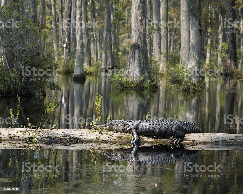 Alligator resting on log stock photo