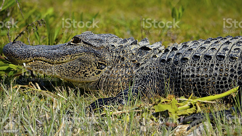 Alligator Showing His 4th Tooth royalty-free stock photo