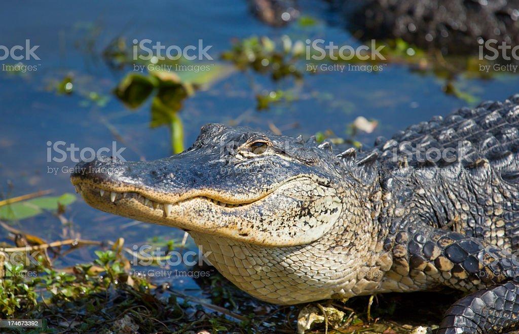 Alligator - Smiley stock photo