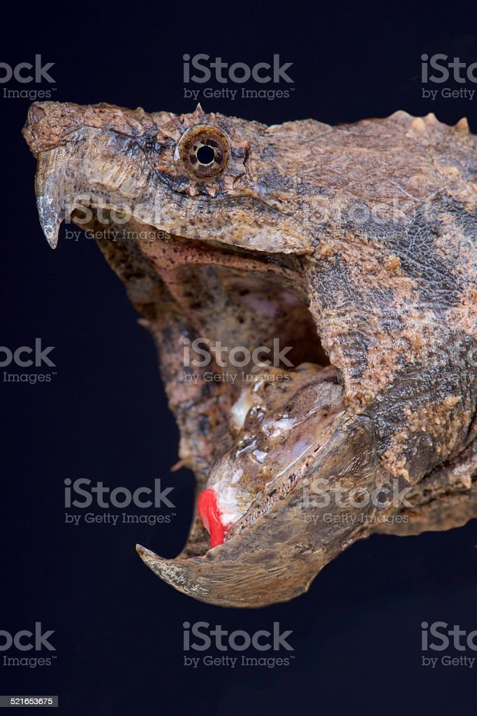 Alligator snapping turtle / Macrochelys temminckii stock photo