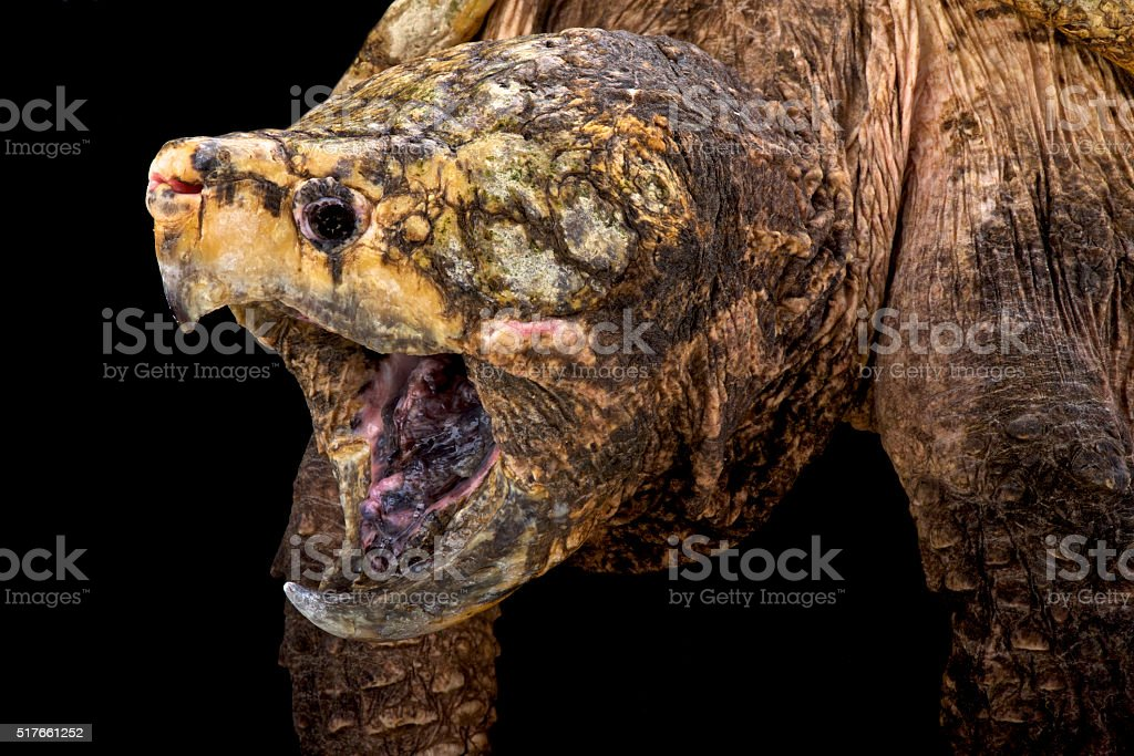 alligator snapping turtle (Macrochelys temminckii) stock photo