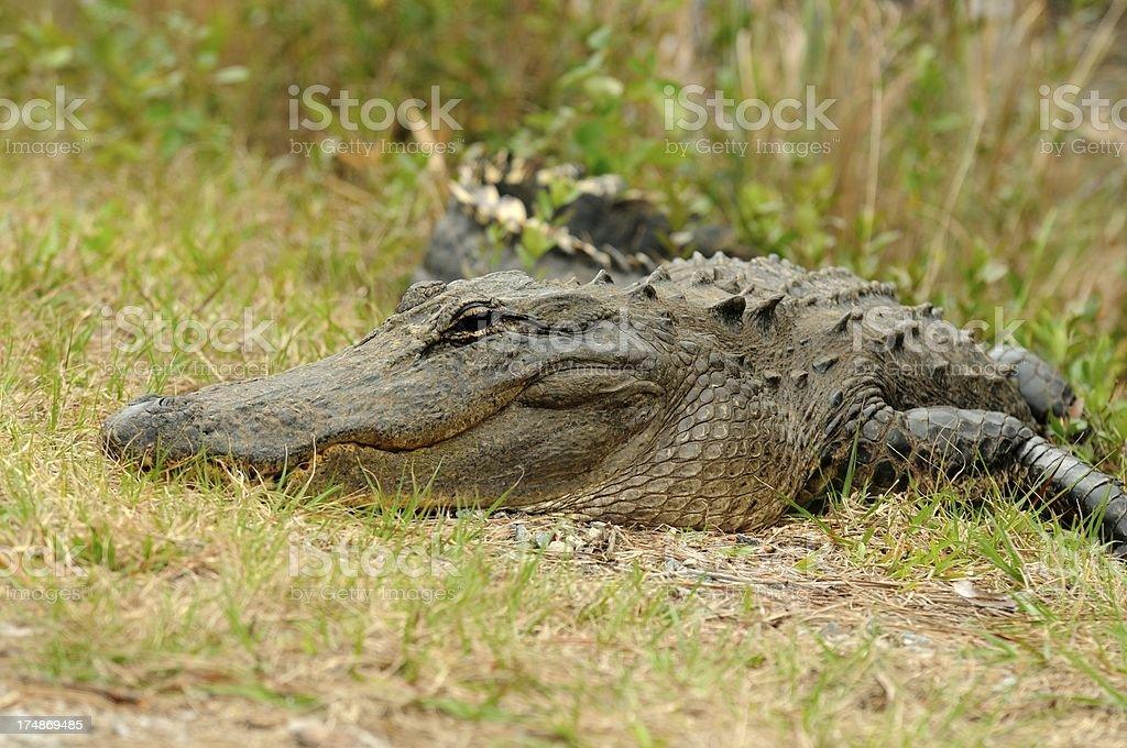 Alligator sunning royalty-free stock photo