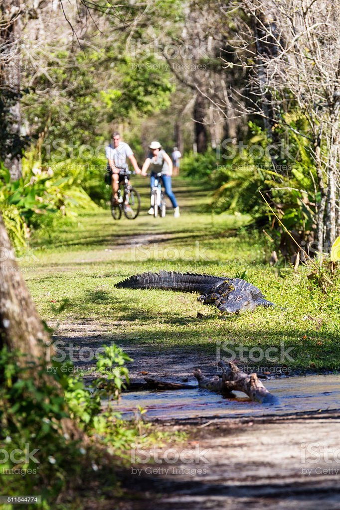 Alligator Suns Himself While Bikers Are Unsure To Pass stock photo