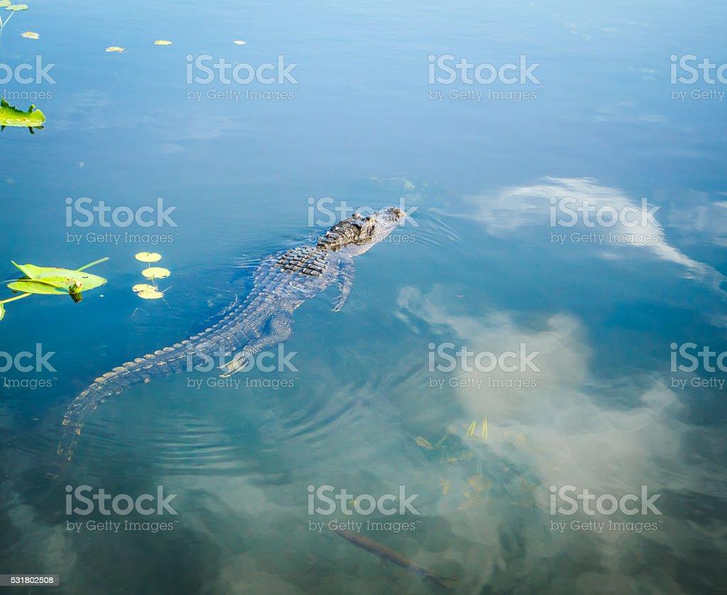 Alligator Swimming in Swamp Water stock photo