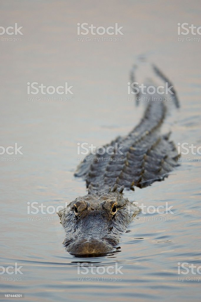 Alligator swimming towards camera stock photo