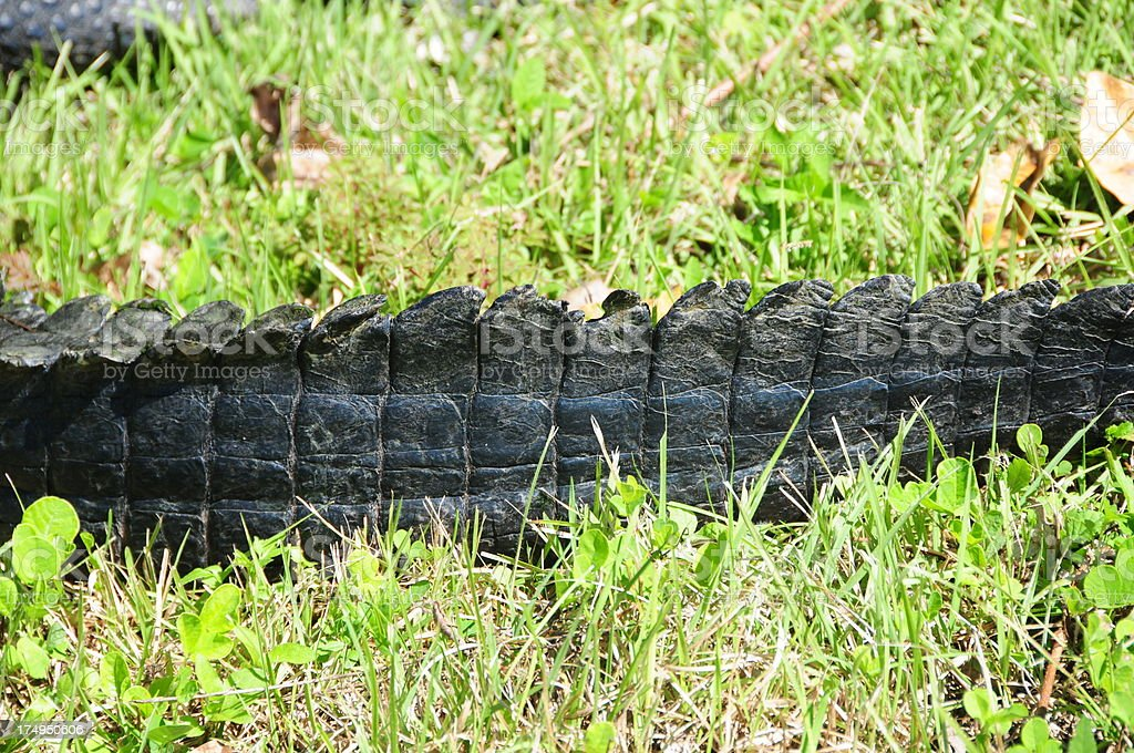 Alligator Tail in Florida royalty-free stock photo