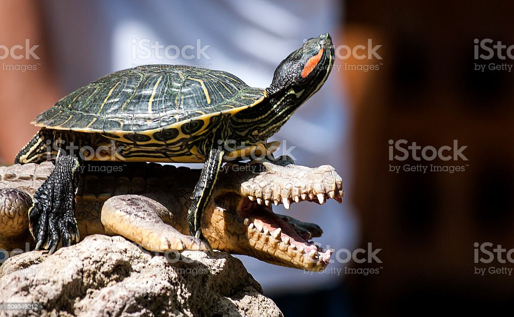 Alligator, toy crocodile, water turtles stock photo