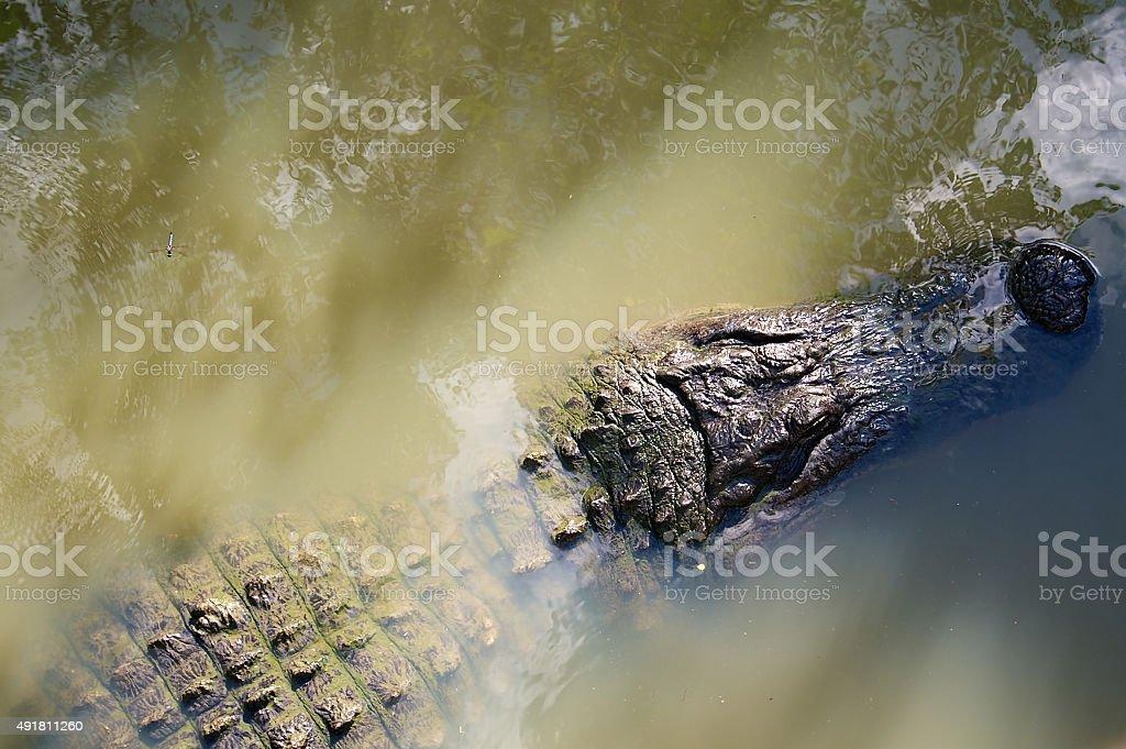 Alligator trolls the water stock photo