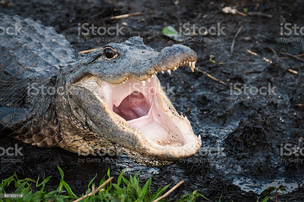 Alligator with jaws wide open stock photo