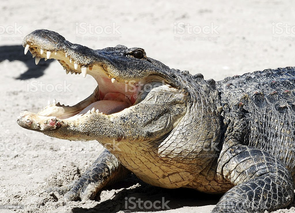 Alligator with mouth open 03 stock photo