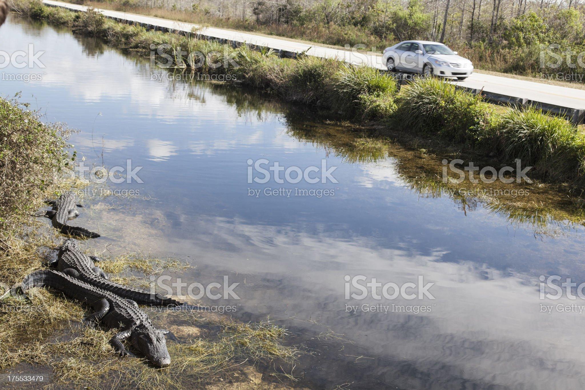Alligators beside the road royalty-free stock photo