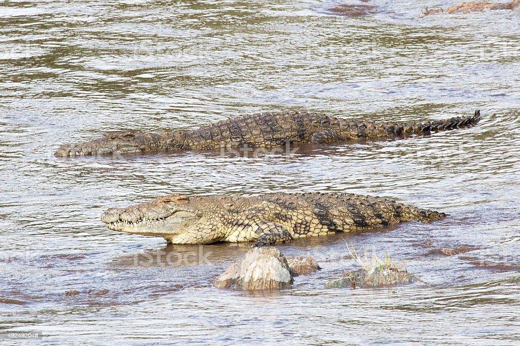Alligators in the river stock photo