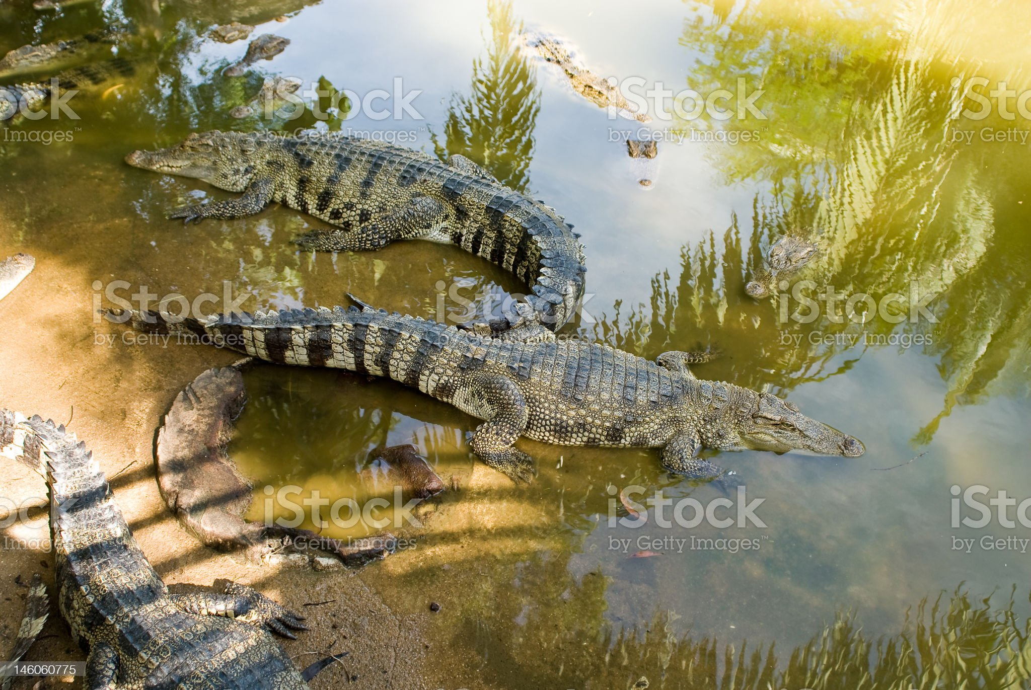 alligators in the water royalty-free stock photo