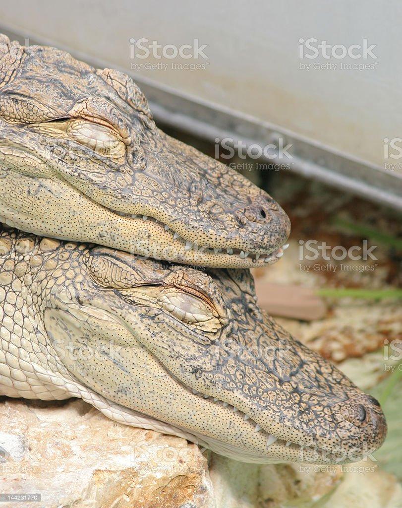 Alligators dormitorio foto de stock libre de derechos