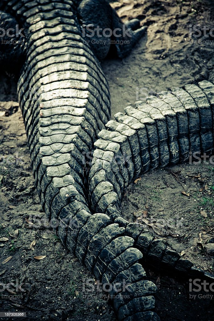 alligators tail royalty-free stock photo